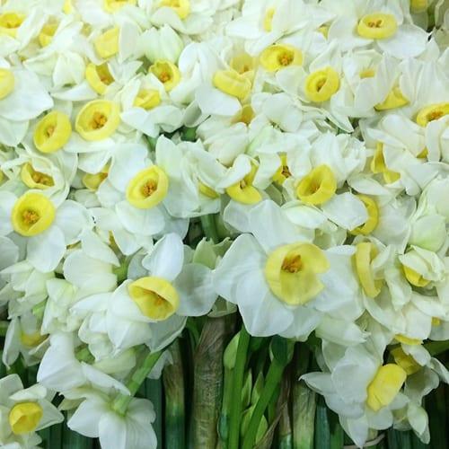 Narcissi-Flowerona