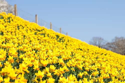 Katie-Spicer-Photography-Flowerona_Daffodils-1