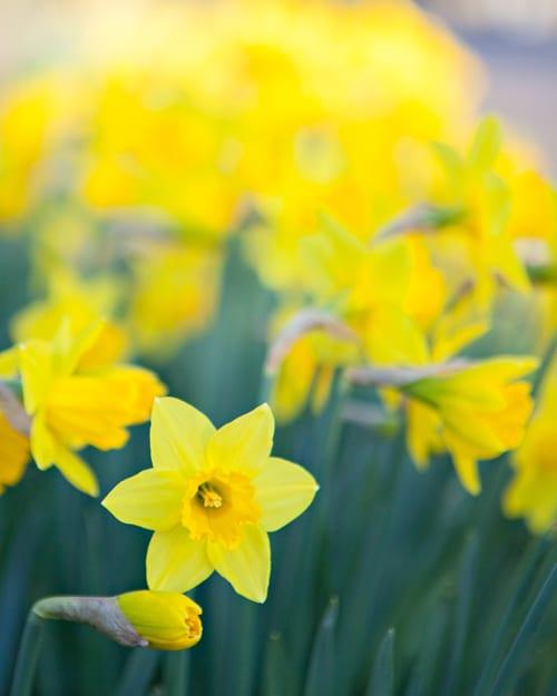 Katie-Spicer-Photography-Flowerona_Daffodils-2