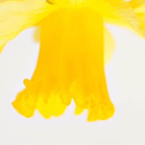 Katie-Spicer-Photography-Flowerona_Daffodils-3