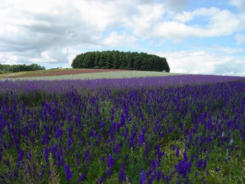 Shropshire-Petals-Confetti-fields-Flowerona