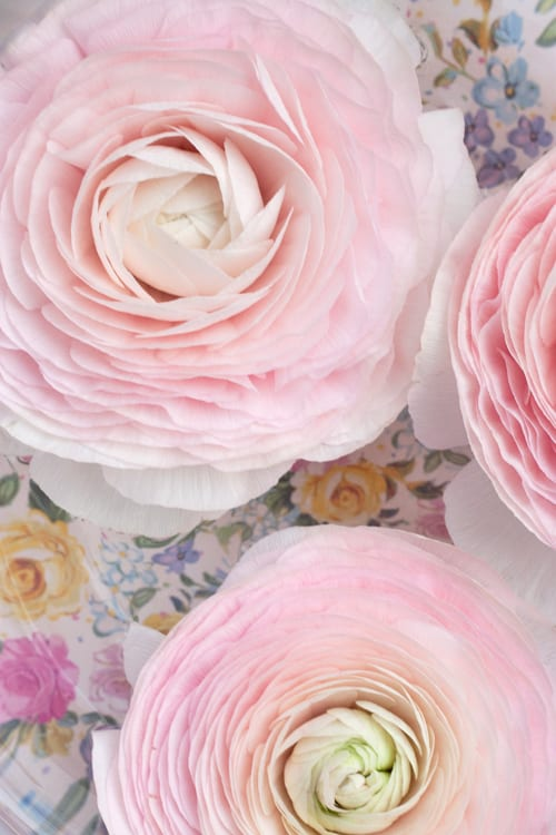 Cloni-Ranunculus-D-G-Wholesale-Flowers-Flowerona