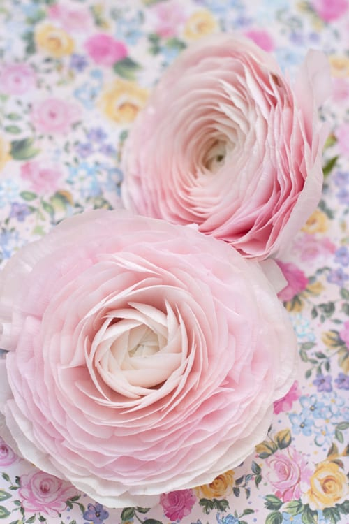 There are ranunculus….and then there are CLONI ranunculus!
