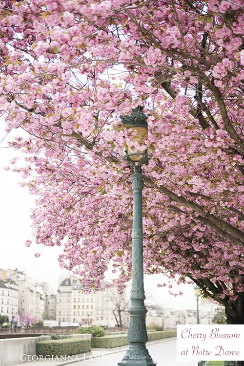 Georgianna-Lane-Pink-Spring-Blossom-Paris