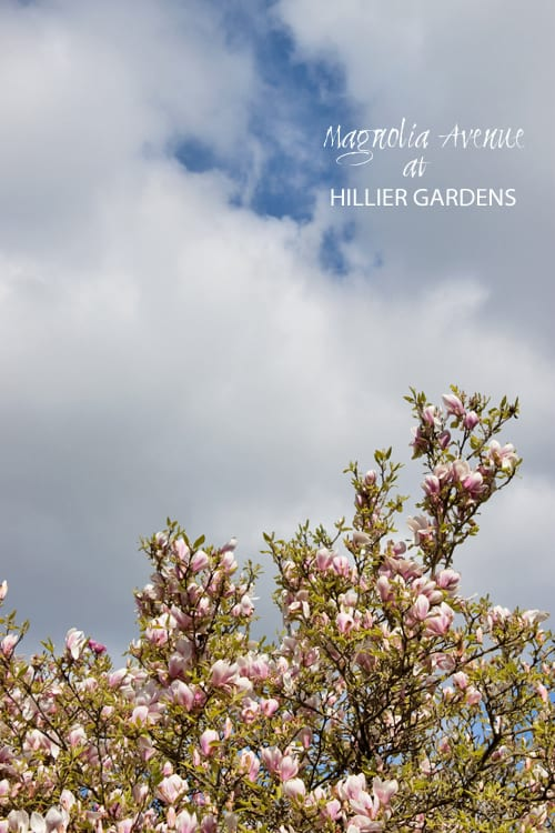 Hillier-Gardens-Magnolia-Trees-Flowerona
