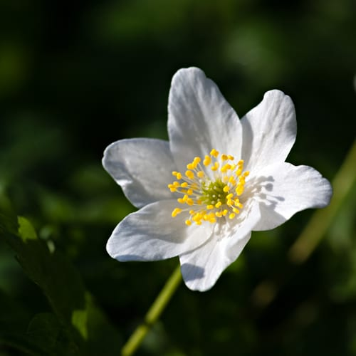 Katie Spicer Photography Wood Anemone