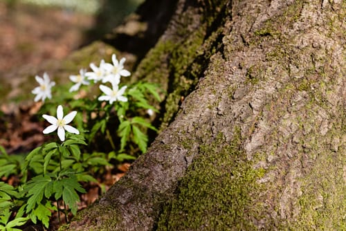 The Dainty Wood Anemone…Anemone Nemerosa