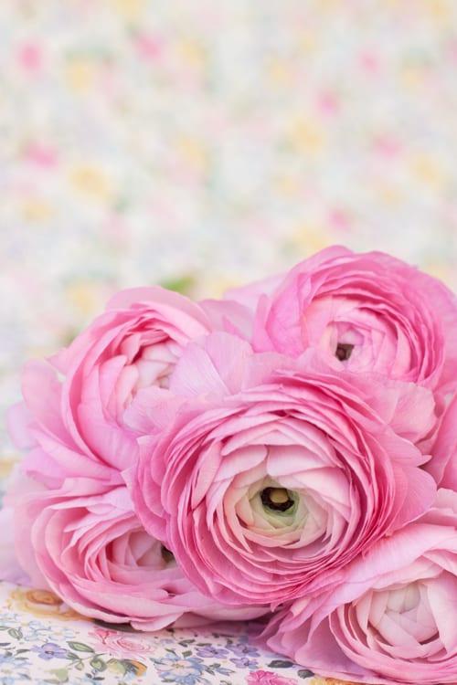 Pale-pink-Ranunculus-Flowerona-2