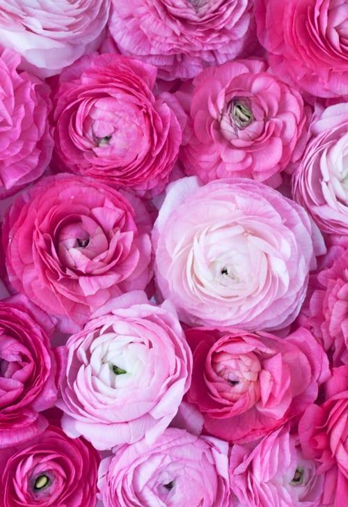 Pink-ranunculus-Flowerona