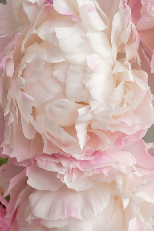 Gardenia-Peony-Flowerona-2