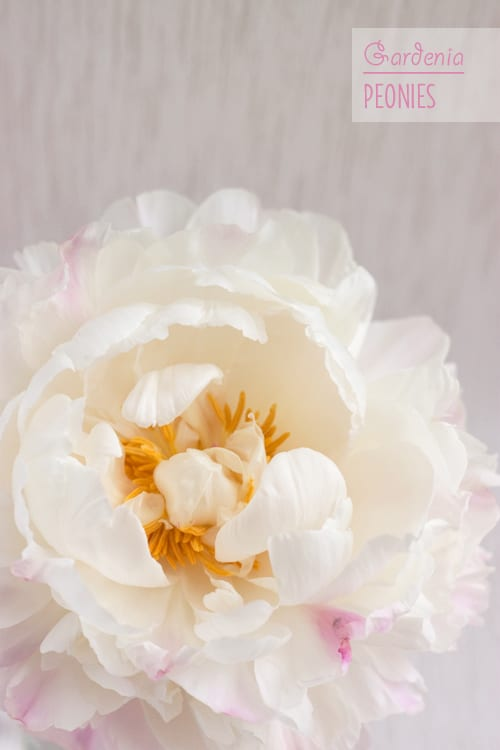 Delicate clouds of dreamy blush-white petals…Gardenia Peonies