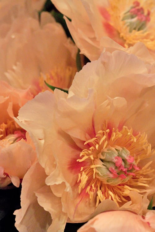 Neill-Strain-Passion-for-Peonies-Chelsea-Fringe-2014-Flowerona-10