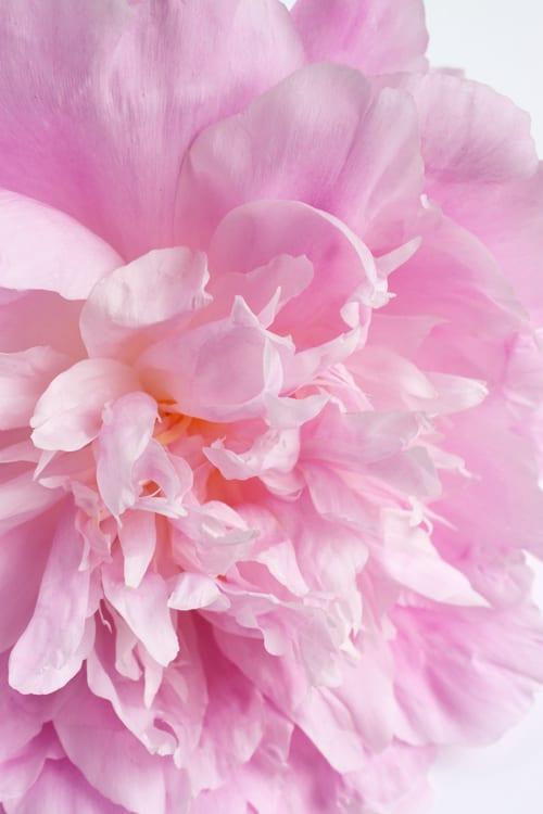 Pink-Peony-Flowerona