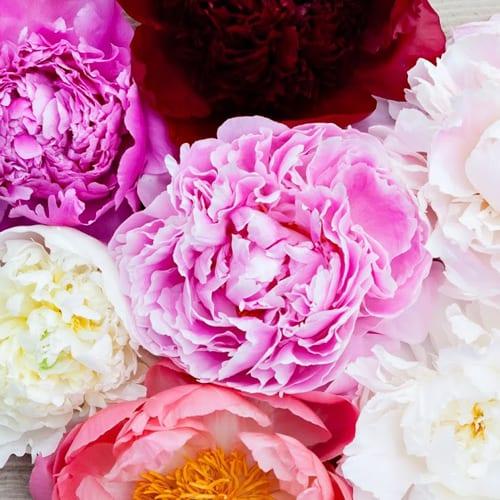 Katie-Spicer-Photography-Flowerona-May-Peony-2