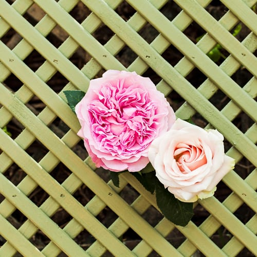 Flower of the Month – The Rose…A guest post by Katie Spicer, in collaboration with Carolyn Dunster of Simply Roses