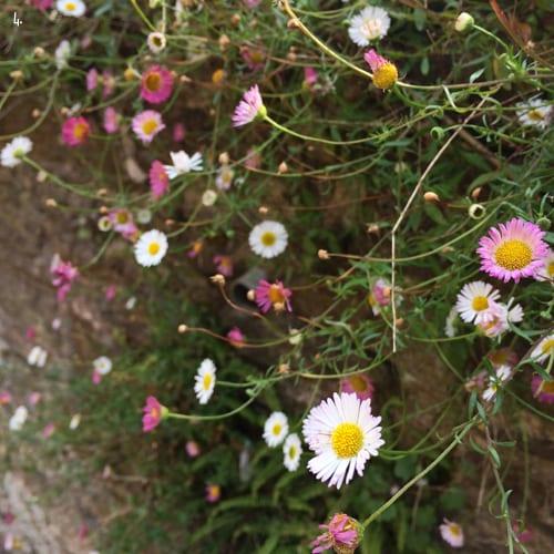 Mexican-Daisies-Flowerona-4a