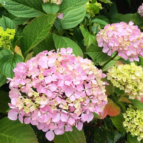 Pink-Hydrangea-Flowerona-8a