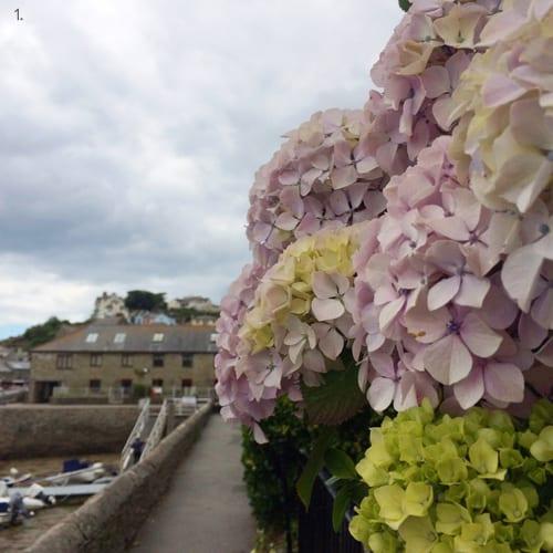 Salcombe-Pink-Hydrangeas-Flowerona-1a