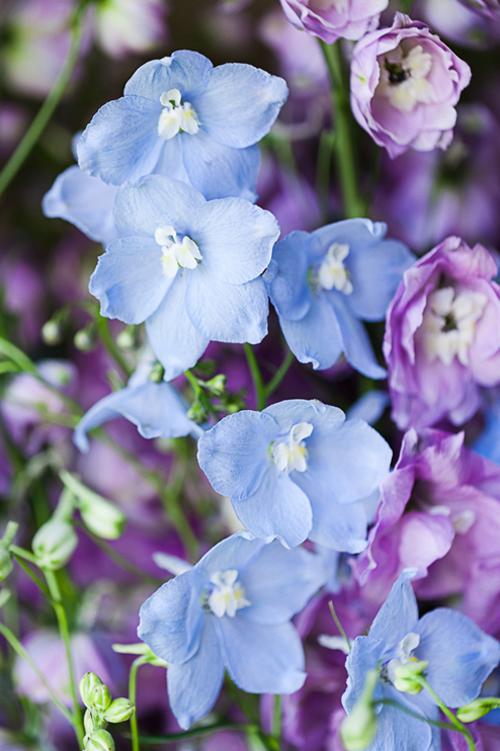 Flowerona-Kate-Avery-Delphinium-3a