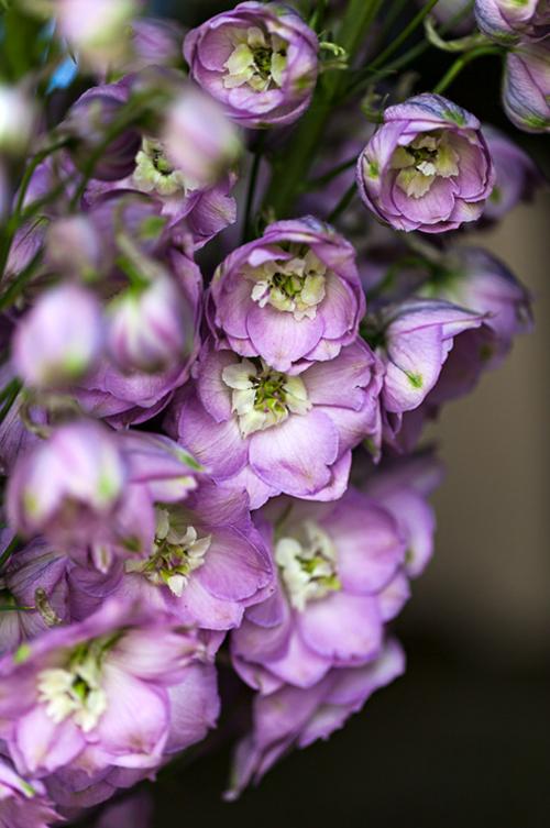 Flowerona-Kate-Avery-Delphinium-4