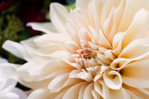 Flowerona Vanessa Birley Dahlia-11