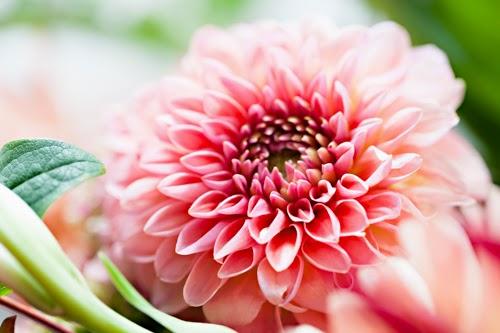 Flowerona Vanessa Birley Dahlia-17