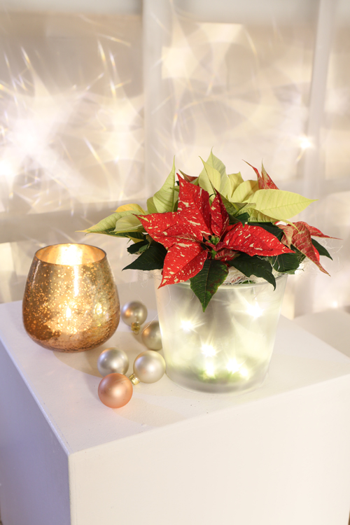 Beautiful fairy tale inspired poinsettia installations, plus tips on how to care for this festive plant