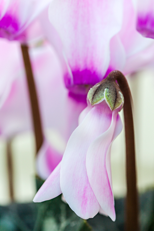 Flower of the Month – The Cyclamen…A guest post by Katie Spicer, in collaboration with Ann Briggs