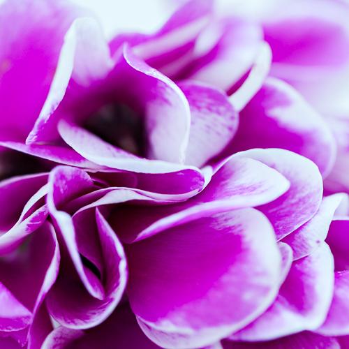 Flowerona Ann Briggs Cyclamen-10