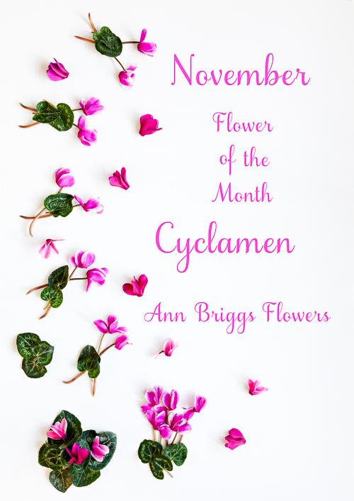 Flowerona Ann Briggs Cyclamen-12
