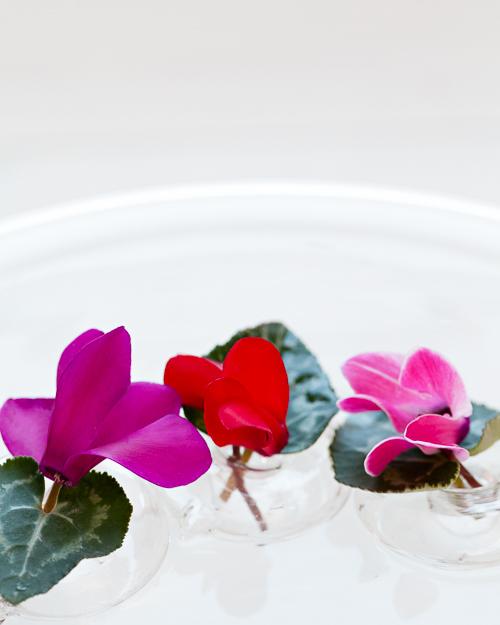 Flowerona Ann Briggs Cyclamen-3