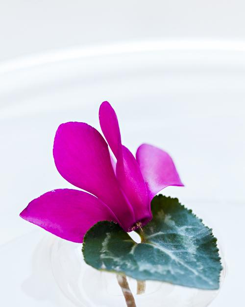 Flowerona Ann Briggs Cyclamen-4
