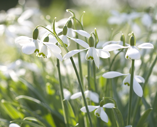 Book review of The Plant Lover's Guide to Snowdrops by Naomi Slade