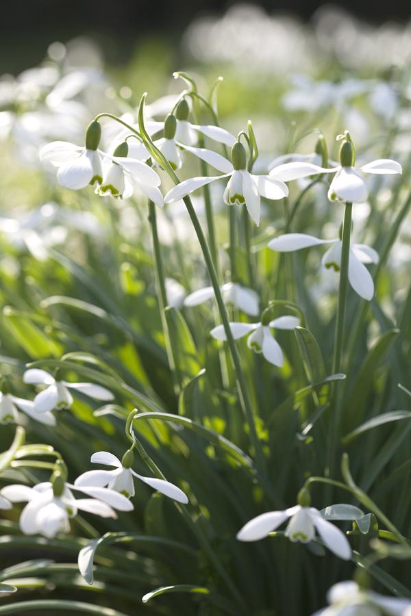1077_J144_JW-Snowdrops-Flowerona