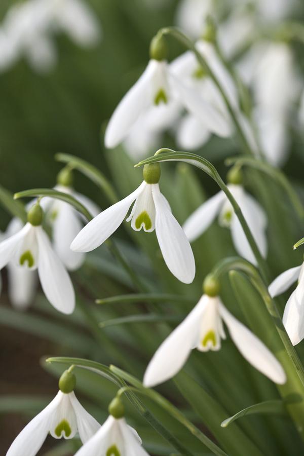 1098_J399_JW-Snowdrops-Flowerona