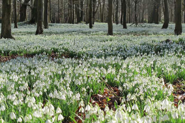 Snowdrops-naturalised-at-Welford-Park-Naomi-Slade-Flowerona
