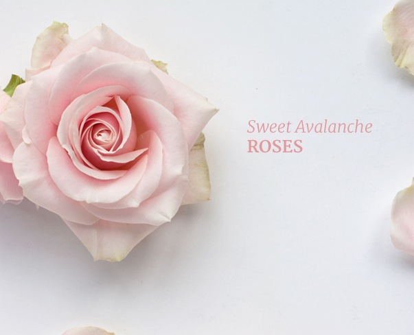 Sweet Avalanche roses…perfect for wedding flower designs