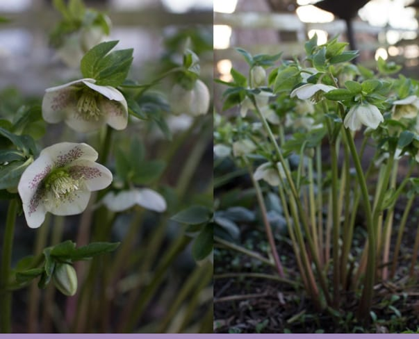 Flowerona Links : With hellebores, apps & a bloom-filled car…