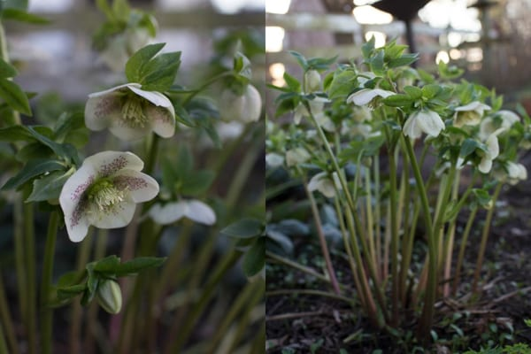 hellebore-white-Floret-Flower-Farm
