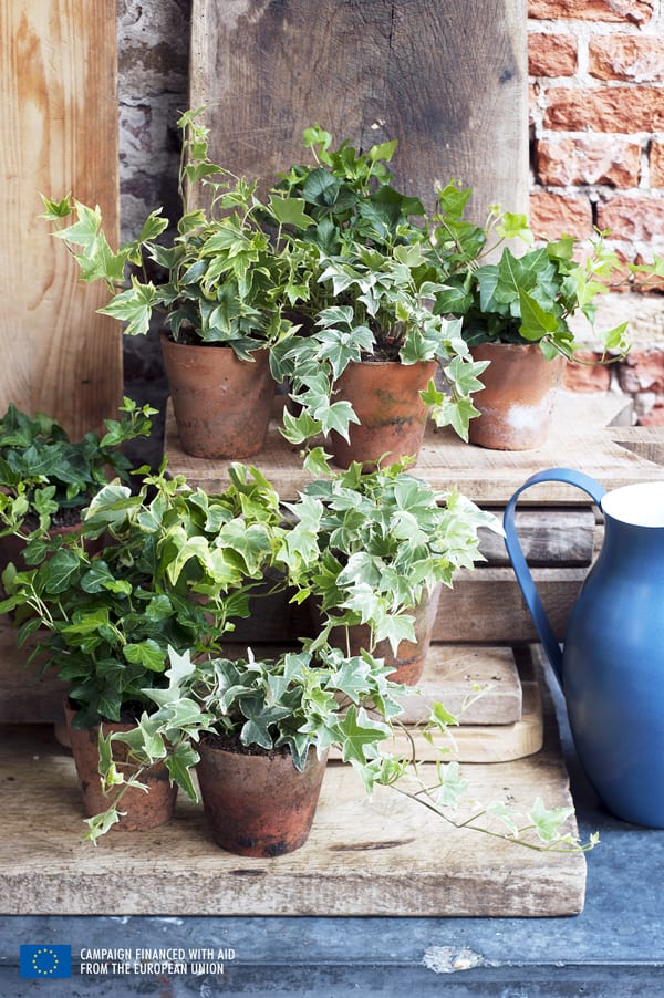 Houseplant-of-the-Month-Ivy-Flowerona-3