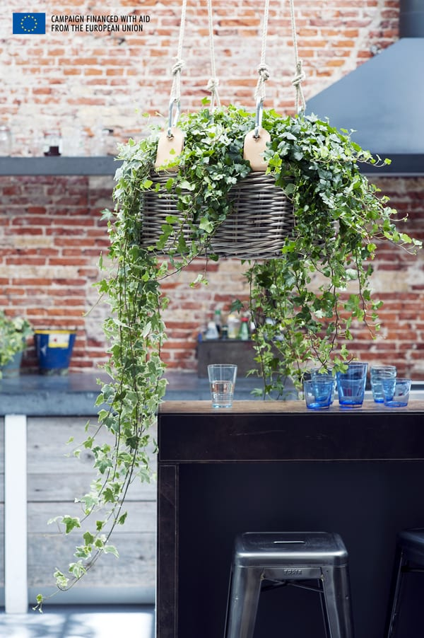 Houseplant-of-the-Month-Ivy-Flowerona-4