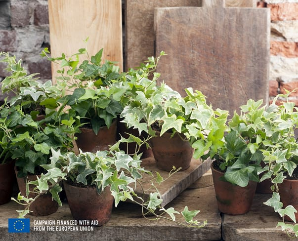 Houseplant of the Month – Ivy