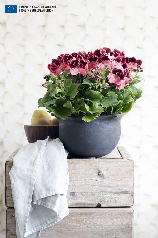 Houseplant-of-the-Month-Regal-Pelargonium-Flowerona-2