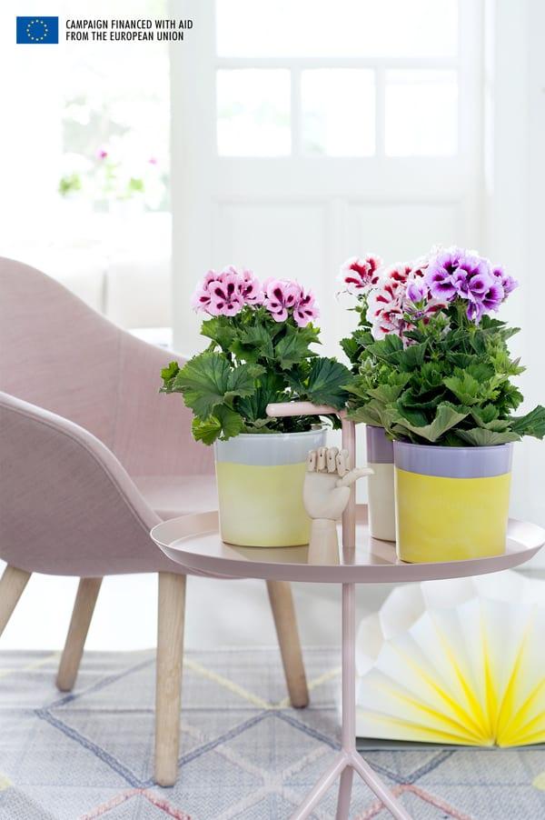 Houseplant-of-the-Month-Regal-Pelargonium-Flowerona-3