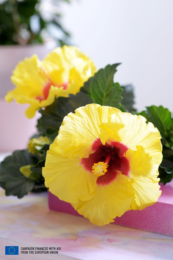 Houseplant-of-the-Month-Hibiscus-Flowerona-5