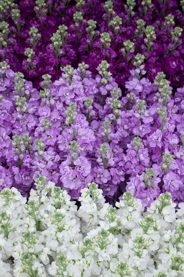 Marks & Spencer RHS Chelsea Flower Show 2015 Flowerona-3