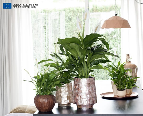Houseplant of the Month – Peace Lily