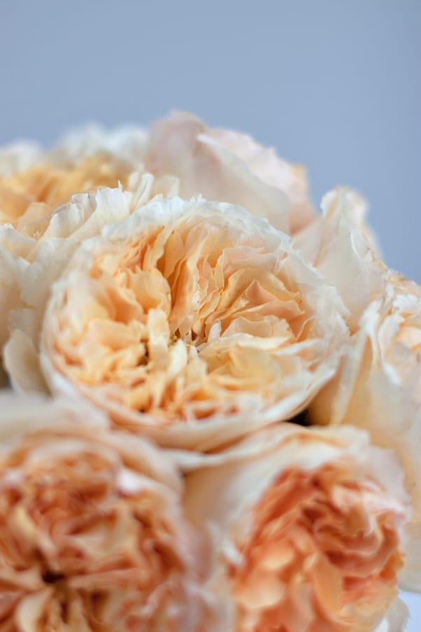 David-Austin-Rose-Alexandra-Farms-Flowerona-Beatrice