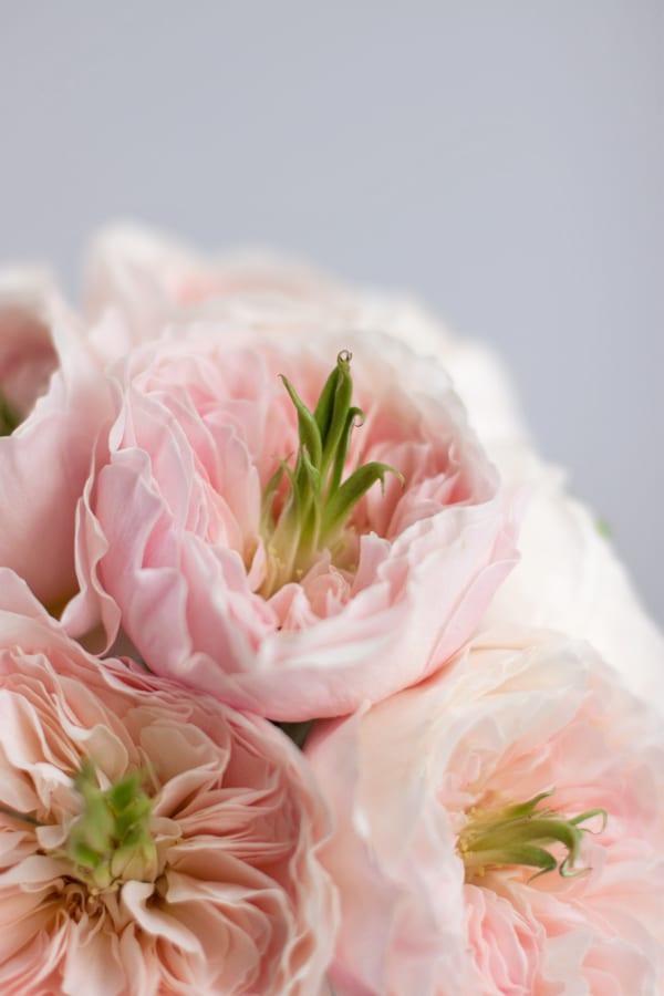 David-Austin-Rose-Alexandra-Farms-Flowerona-Charity