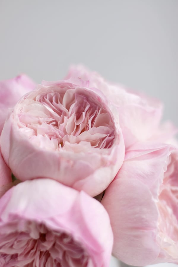 David-Austin-Rose-Alexandra-Farms-Flowerona-Constance